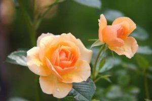 rose-flower-blossom-bloom-39517