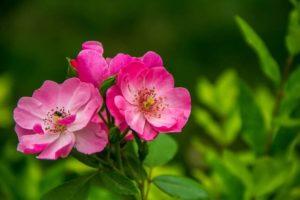 rose-the-wild-flower-powder-46192